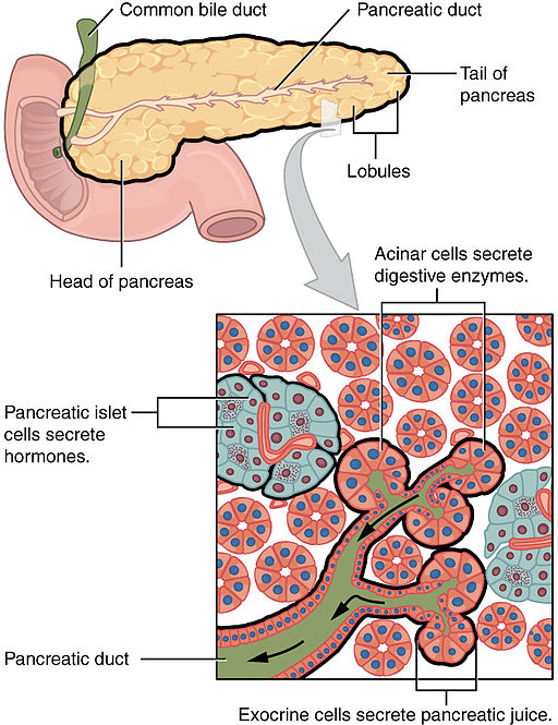 Pancreatic exocrine and endocrine tissue. http://commons.wikimedia.org/wiki/File%3A2424_Exocrine_and_Endocrine_Pancreas.jpg