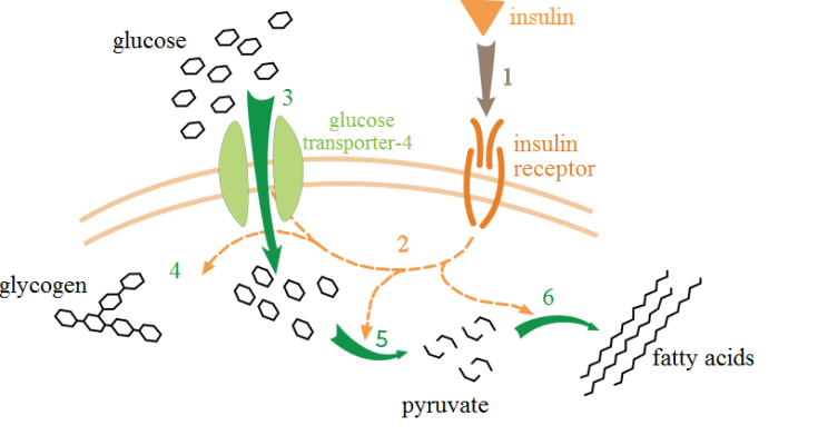Insulin action on a target cell. Image credit: http://en.wikipedia.org/wiki/File:Insulin_glucose_metabolism_ZP.svg